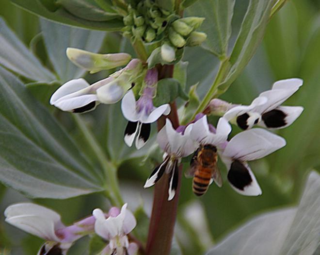 黑大豆花的图片